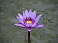 「温室の蓮」