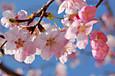 「ことしも一番乗り、大漁桜」
